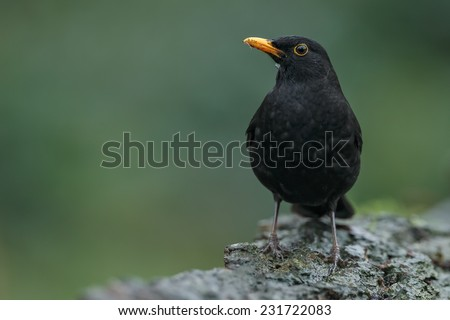 Blackbird male perched on a stone - stock photo