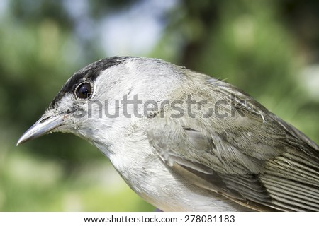 Blackcap male close-up / Sylvia atricapilla  - stock photo