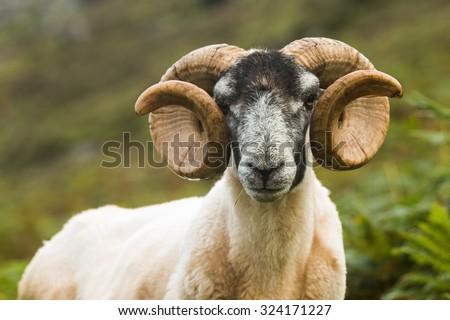 Blackface Sheep, Skye, Scotland - stock photo