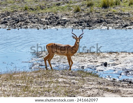 Blackfaced impala in Chobe National Park - Botswana, South-West Africa - stock photo