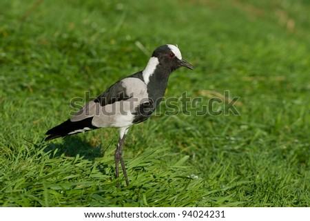 Blacksmith Plover in a field - stock photo