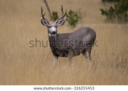 Blacktail Deer - stock photo