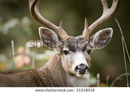 Blacktail deer buck with antlers - stock photo