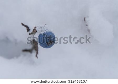 Blackthorn fruit - stock photo
