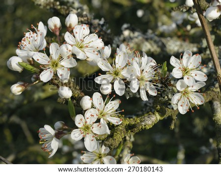 Blackthorn or Sloe blossom in April - Prunus spinosa - stock photo