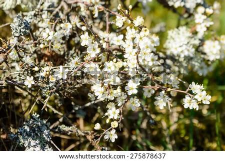 Blackthorn or sloe (Prunus spinosa) in full bloom in spring. White delicate flowers in abundance. - stock photo