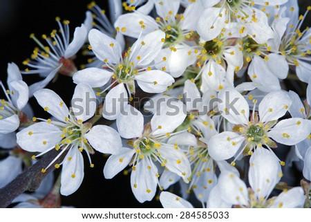 Blackthorn, Prunus spinosa - stock photo