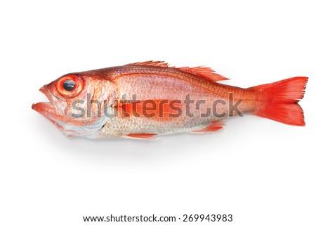 blackthroat seaperch, rosy seabass, nodoguro, akamutsu, japanese high class fish - stock photo