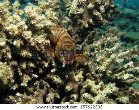Blacktip grouper with hook in mouth - stock photo