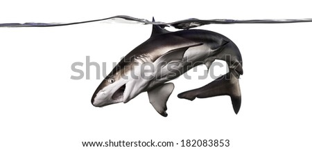 Blacktip reef shark attacking, swimming down the surface, Carcharhinus melanopterus, isolated on white - stock photo