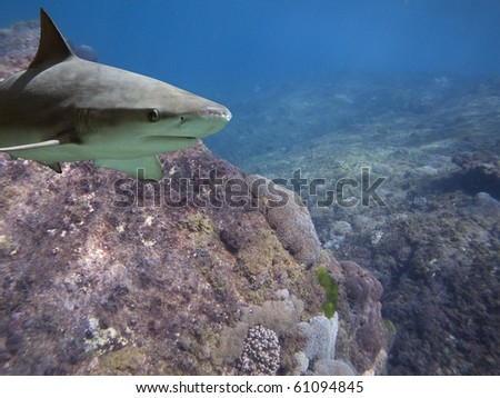 Blacktip Reef Shark (Carcharhinus melanopterus) swimming over tropical coral reef. - stock photo