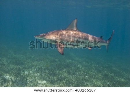 Blacktip shark close to the surface in a lagoon with seaweed. - stock photo