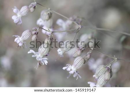 Bladder campion (Silene vulgaris) closeup, shallow DOF - stock photo