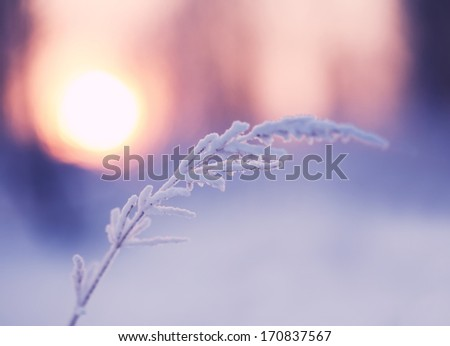 blade of grass covered with snow at sunset. Small Depth of Field (DOF)  - stock photo