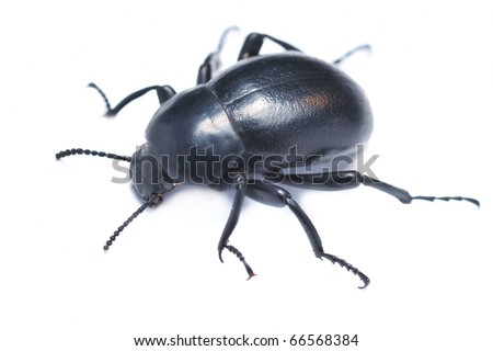 Blaps darkling beetle isolated on white - stock photo
