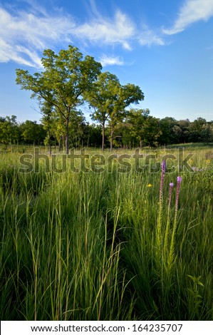 Blazing star and other summer wildflowers bloom on Schulenberg Prairie at The Morton Arboretum in Lisle, Illinois. - stock photo