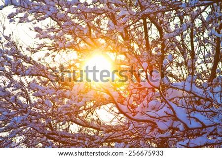 Blazing sun shining though tree branches with fresh fallen winter season snow.    - stock photo