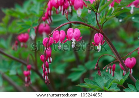 Bleeding heart flowers (Dicentra spectabils) - stock photo