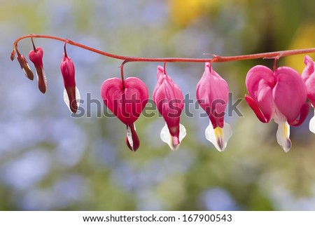 Bleeding heart flowers (Dicentra spectabils) in the home garden. - stock photo