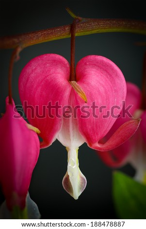 Bleeding heart flowers (Dicentra Spectabils) lyre flower love heart on dark backgound - stock photo