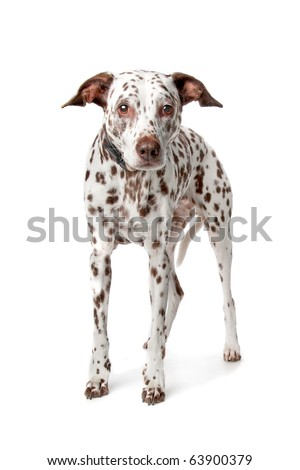 blind and old Dalmatian stading in front of white background - stock photo