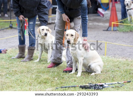 Blind people are participating with their golden retriever guide dogs during the last training for the animals. The dogs are undergoing various trainings before finally given to the disabled people.  - stock photo