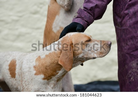 Bliss-hound enjoys a fuss from a hunt follower as it waits to go out fox hunting in the UK - stock photo