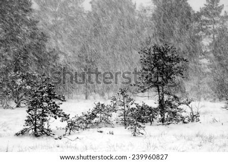 Blizzard in December at Torronsuo national park, Tammela, Finland. - stock photo