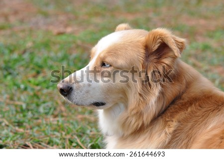 Blond and white dog with blue eyes in profile laying in the grass - stock photo