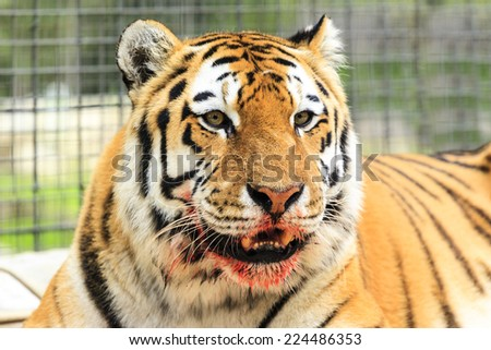 Blood on tiger jaw - stock photo
