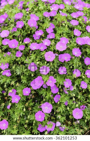 Blood red geraniums (binomial name: Geranium sanguineum 'Ankum's Pride'), also known as bloody geranium and bloody cranesbill, in an ornamental garden, springtime in Illinois, USA (selective focus) - stock photo