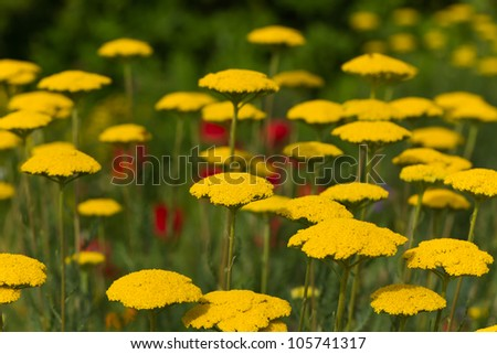 bloodwort ,Achillea millefolium, field - stock photo
