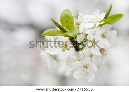 bloom cherry grow spring white - stock photo