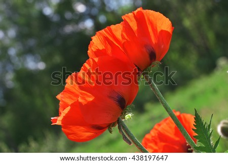 Bloom of scarlet poppies - stock photo