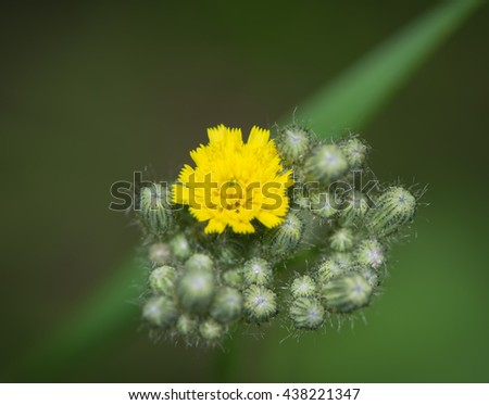Bloomed yellow flower buds in the garden - stock photo