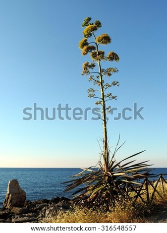 Blooming agave on a calm tyrrhenian sea background in a sunny day. Seashore of Sicily, Italy. - stock photo