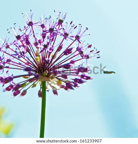 Blooming allium outdoor, with bee. - stock photo