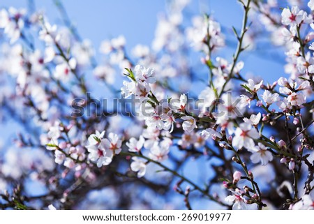 blooming almond tree  branch in spring against blue sky - stock photo