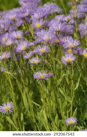 Blooming Alpine asters (Aster Alpinus) - stock photo