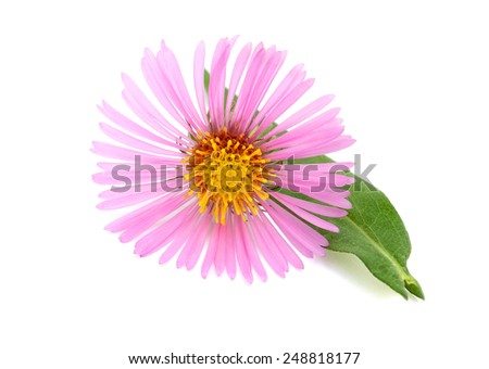 Blooming Alpine asters (Aster Alpinus)  of New England Asters, Aster family  - stock photo