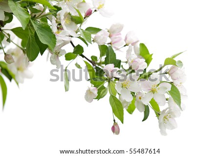 Blooming apple tree branch isolated on white background - stock photo