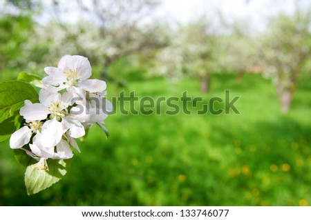 blooming apple tree branch on a background of green grass, top view - stock photo