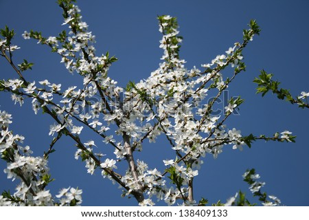 Blooming apple tree branches on background of blue sky - stock photo