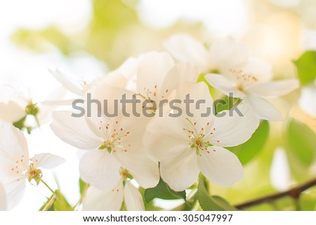 Blooming apple tree flower closeup  in sunset - stock photo