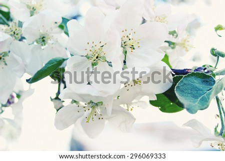 Blooming apple tree in spring selective focus  toned image - stock photo