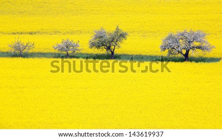 Blooming apple tree row in a rape field - stock photo