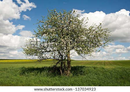 Blooming apple tree with fields in the background - stock photo