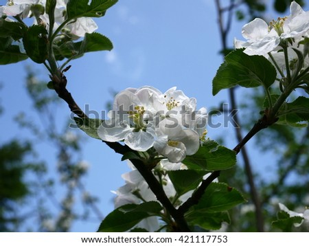 blooming apple-tree with green leaf - stock photo