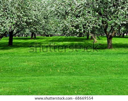 blooming apple trees garden in spring - stock photo
