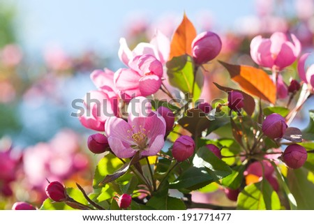 Blooming apple trees. Spring flowers. Young leaves. Spring. (soft focus). - stock photo